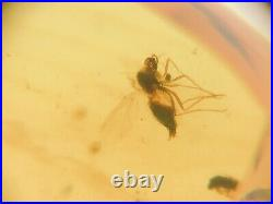 100 Million Year Blood Filled Mosquito In Cretaceous Burmese Amber Fossil461
