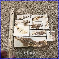 10 Fish Fossils 50 Million Years Old Green River Formation Wyoming USA A