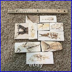 10 Fish Fossils 50 Million Years Old Green River Formation Wyoming USA B