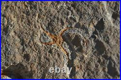 2X STARFISH OPHIOPETRA Fossil 100% natural 440 Million Year Old