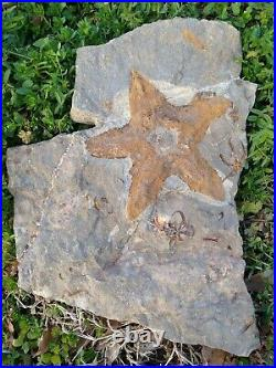 440 Million Year Old Natural STARFISH Brittle Stars Fossil Ophiuroids