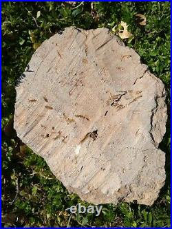 440 Million year Old Natural STARFISH Brittle Star Fossil Ophiuroids