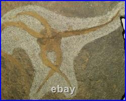 450 millions years old. OPHIOPETRA STARFISH FOSSIL