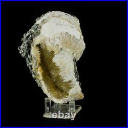 4.5 Golden CALCITE Crystals In Million-Year-Old FOSSIL CLAMSHELL FL for sale