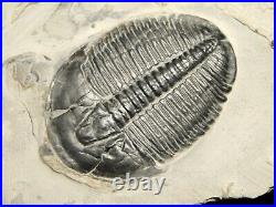A BIG! 510 Million Year Old Elrathia Trilobite Fossil From Utah 433gr D