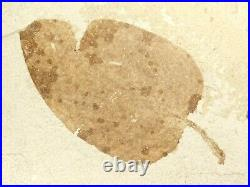 A HUGE! 100% Natural 50 Million Year Old LEAF Fossil Wyoming! 3083gr