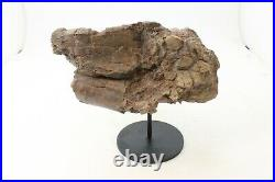 Ancient Triceratops Radius Bone 70 Million Years Old Hell Creek Formation