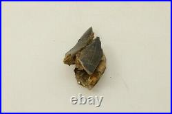 Ancient Tyrannosaur Tooth 80/75 Million Years Old Judith River Formation