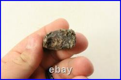 Ancient Tyrannosaurus Rex Tooth 98 Million Years Old Hell Creek Formation
