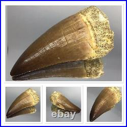 Authentic Dinosaur Tooth 70 Million Years Old Large 22 Grams