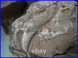 Authentic extinct Saber-tooth cat skull fossil, 7 million years, Smilodon RARE