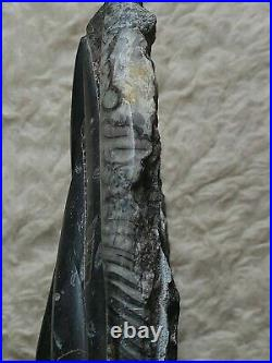 BEAUTIFUL LARGE ORTHOCERAS FOSSIL 22lbs. MILLIONS OF YEARS OLD. EXCELLENT PIECE