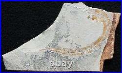 Belonostomus 25- 100 Million Years Cretaceous Fossils Directly From Lebanon