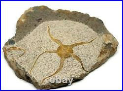 Brittle Star Fossil 450 Million Years Old Morocco #16614 35o
