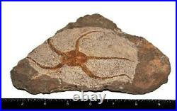 Brittle Star Fossil 450 Million Years Old Morocco E181 29o