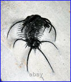 Ceratarges TRILOBITE Fossil Morocco 390 Million Years old #14927 21o