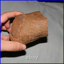 Dinosaur End Bone from the Hell Creek Formation CRETACEOUS 65 Million Years Old