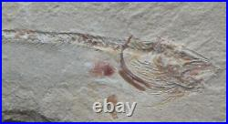 Enchelion 49 Eel 100 Million Years Cretaceous Fossils Directly From Lebanon