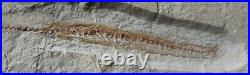 Enchelion 50 Eel 100 Million Years Cretaceous Fossils Directly From Lebanon