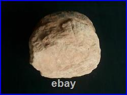Exclusive Dinosaur egg from a Hadrosaurus 75 million years old
