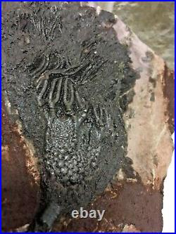 Fossil Crinoid Plate 400 Million years old, 230 mm