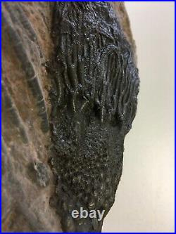 Fossil Crinoid Plate 400 Million years old, 280 mm
