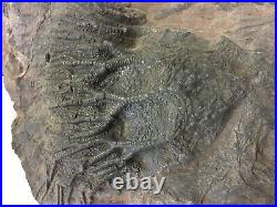 Fossil Crinoid Plate 400 Million years old, 510 mm