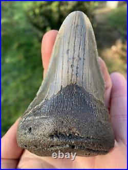 Fossil Megalodon Shark Tooth Fragments 23-3.6Million Years Old USA