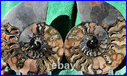 Fossil PAIR Ammonite with Crystals XXXLRG 8.6 110 million years old 221mm a3747xx