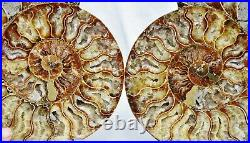 Fossil PAIR Ammonite with Crystals XXXLRG 8.8 110 million years old 222mm 3482xx