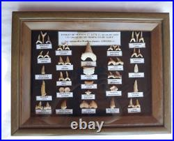 Fossil Shark Teeth Collection Large 40 70 Million Years