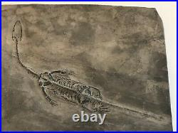 Genuine Dinosaur Prehistoric Fossil Baby Reptile 60 Million Years Old C. O. A