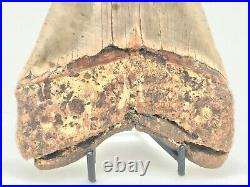 HUGE Ancient MEGALODON Shark Tooth 6 5/16 23/3.6 Million Years Old RMS1145