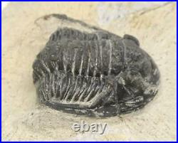Kayserops TRILOBITE Fossil Morocco 390 Million Years old #15242 11o