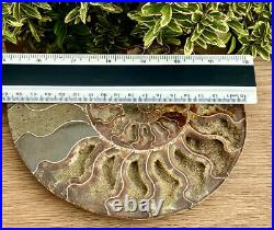 Large 1LB Madagascan Natural Crystal Formed Fossil 416 Million Year Old Ammonite