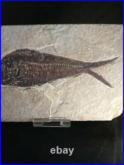 Large Fossil Fish In Matrix 48 Million Years Old