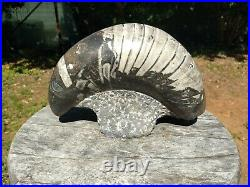 Large ORTHOCERAS Fossil Display Piece 400 Million Years old