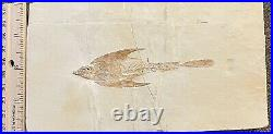 Lebanon Fish Fossil, Coccodus With Visible Teeth, Cretaceous 100 Million Years