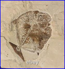 Lebanon Fish Fossil, Extremely Rare Pycnodonte, Cretaceous 100 Million Years