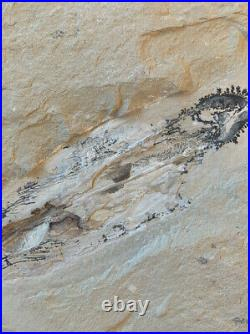 Lebanon Fish Fossil, Nice Squid With Visible Ink Sac, 100 Million Years