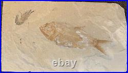 Lebanon Fish Fossil, Osmeroides And Shrimp, Upper Cretaceous 100 Million Years