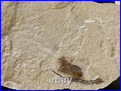 Lebanon Fish Fossil Rare Squid With Ink Sac Mirror Image, 100 Million Years