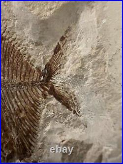 Lebanon Fossil, Aipichtys From Haqil, Upper Cretaceous 100 Million Years