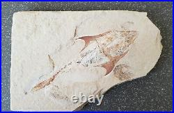 Lebanon Fossil, Coccodus and Shrimp from Hgula, Cretaceous, 100 Million Years