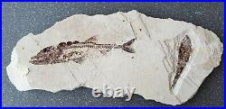 Lebanon Fossil, Eurypholis and new species from Hgula, 100 Million Years
