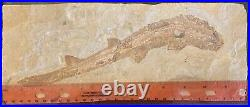 Lebanon Fossil, Extremely Rare Shark Species, Upper Cretaceous 100 Million Years