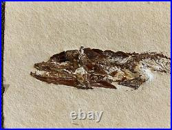Lebanon Fossil Fish, Eurypholis With Amazing Color And Detail 100 Million Years