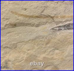 Lebanon Fossil Fish, Squid With Preserved Ink Sac, Cretaceous 100 Million Years