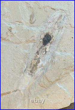 Lebanon Fossil, Large Squid With Crazy Ink Sac, Cretaceous 100 Million Years