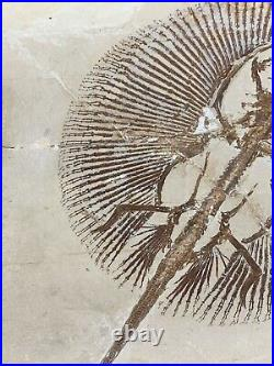 Lebanon Fossil, Museum Quality Cyclobatis-Ray, Cretaceous, 100 Million Years
